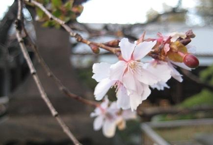 冬桜におもう